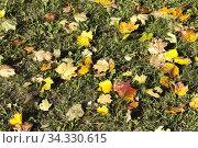 Leaf fall in autumn and on maple trees. Стоковое фото, фотограф Игорь Лейчонок / Фотобанк Лори