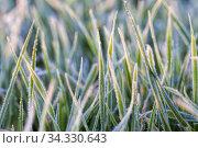 Wheat or rye sown for winter. Стоковое фото, фотограф Игорь Лейчонок / Фотобанк Лори