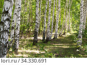 Natural background Russian birch grove, trees. Green eco-friendly summer forest in the morning on a warm sunny day in the park. Стоковое фото, фотограф Светлана Евграфова / Фотобанк Лори