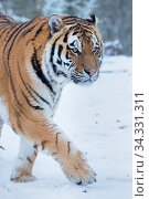 RF - Siberian tiger (Panthera tigris altaica) in snow, captive. (This image may be licensed either as rights managed or royalty free.) Стоковое фото, фотограф Edwin Giesbers / Nature Picture Library / Фотобанк Лори