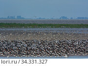 Waders, Oystercatchers (Haematopus ostralegus) and Red knot (Calidris canutus) out on the Wash, massing together as the tide pushes in prior to high tide... Стоковое фото, фотограф David Tipling / Nature Picture Library / Фотобанк Лори