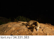 Small Indian civet (Viverricula indica) on rock, looking at camera. Nilgiri Biosphere Reserve, India. Camera trap image. Стоковое фото, фотограф Yashpal Rathore / Nature Picture Library / Фотобанк Лори