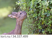 Roe deer (Capreolus capreolus) doe grazing Japanese honeysuckle (Lonicera japonica) leaves in a garden, Wiltshire, UK, March. Стоковое фото, фотограф Nick Upton / Nature Picture Library / Фотобанк Лори