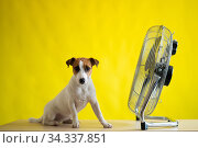 A small cute dog sits on a table in front of a large electric fan on a yellow background. Jack Russell Terrier is chilling on a hot summer day. Cold breeze. Стоковое фото, фотограф Михаил Решетников / Фотобанк Лори