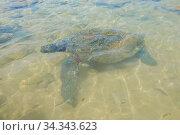 Купить «Оливковая черепаха (Lepidochelys оливачеа) на мелководье. Шри-Ланка», фото № 34343623, снято 13 февраля 2020 г. (c) Виктор Карасев / Фотобанк Лори