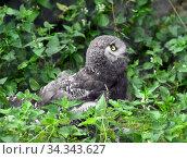Купить «Snowy owl (Bubo scandiacus). Chick in grass», фото № 34343627, снято 30 июля 2020 г. (c) Валерия Попова / Фотобанк Лори