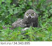 Snowy owl (Bubo scandiacus). Funny Chick in grass. Стоковое фото, фотограф Валерия Попова / Фотобанк Лори