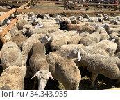 Стая баранов для жертвоприношения в мусульманский праздник Курбан Байрам. Стоковое фото, фотограф Махсумов Шамиль / Фотобанк Лори