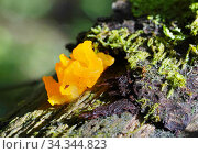 Дакримицес пальчатый (Dacrymyces palmatus) Стоковое фото, фотограф Dmitry29 / Фотобанк Лори