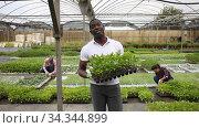 Купить «African american worker holding box with bell peppers sprouts in greenhouse», видеоролик № 34344899, снято 1 июня 2020 г. (c) Яков Филимонов / Фотобанк Лори