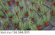Image of lavender flowers growing in pots in sunny greenhouse. Стоковое видео, видеограф Яков Филимонов / Фотобанк Лори