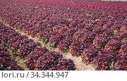 Купить «Rows of red lettuce on a field», видеоролик № 34344947, снято 4 августа 2020 г. (c) Яков Филимонов / Фотобанк Лори