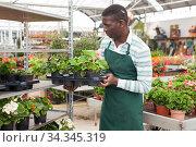 Купить «Farmer cultivating Begonia semperflorens in greenhouse», фото № 34345319, снято 22 мая 2019 г. (c) Яков Филимонов / Фотобанк Лори