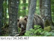 European brown bear (Ursus arctos) amongst tree trunks, Sneznik forest, Slovenia. June. Стоковое фото, фотограф Franco  Banfi / Nature Picture Library / Фотобанк Лори