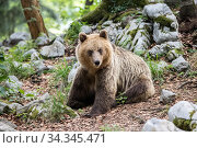 European brown bear (Ursus arctos) sitting, Sneznik forest, Slovenia. June. Стоковое фото, фотограф Franco  Banfi / Nature Picture Library / Фотобанк Лори