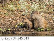 Capybara male with young (Hydrochoerus hydrochaeris) Pantanal, Mato Grosso do Sul, Brazil. Стоковое фото, фотограф Franco  Banfi / Nature Picture Library / Фотобанк Лори