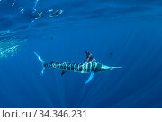 Striped marlin (Tetrapturus audax) hunting. Magdalena Bay, Baja California Sur, Pacific Ocean, Mexico.. Стоковое фото, фотограф Franco  Banfi / Nature Picture Library / Фотобанк Лори