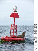 California sea lion ( Zalophus californianus), rests on buoy, Magdalena Bay, Baja California Sur, Mexico. Стоковое фото, фотограф Franco  Banfi / Nature Picture Library / Фотобанк Лори
