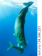 Sperm whale (Physeter macrocephalus), trying to move away a calf to mate with a female, Dominica, Caribbean Sea, Atlantic Ocean. Стоковое фото, фотограф Franco  Banfi / Nature Picture Library / Фотобанк Лори