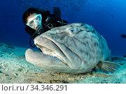 Scuba diver with big Gulf grouper (Mycteroperca jordani), Cabo Pulmo Marine National Park, Baja California Sur, Mexico. Редакционное фото, фотограф Franco  Banfi / Nature Picture Library / Фотобанк Лори