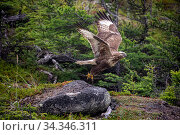Купить «Rough-legged hawk (Buteo lagopus) taking off in forest. Vrangel Bay, Primorsky Krai, Russia. August.», фото № 34346311, снято 3 августа 2020 г. (c) Nature Picture Library / Фотобанк Лори