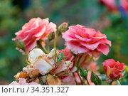 Riesenheuschrecke mit Legestachel auf blühender roter Rose. Стоковое фото, фотограф Zoonar.com/Alfred Hofer / easy Fotostock / Фотобанк Лори