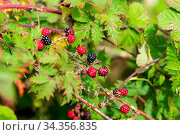 Branch of a blackberry bush with fruits on the Baltic Sea island of... Стоковое фото, фотограф Zoonar.com/Stefan Laws / easy Fotostock / Фотобанк Лори