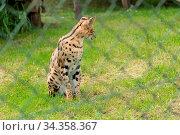 Raubtier im Wildgehege - afrikanische Wildkatze Serval. Стоковое фото, фотограф Zoonar.com/Alfred Hofer / easy Fotostock / Фотобанк Лори