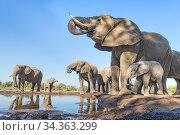 African elephant (Loxodonta africana) herd drinking at a waterhole, Mashatu Game Reserve, Botswana. June. Стоковое фото, фотограф Suzi Eszterhas / Nature Picture Library / Фотобанк Лори