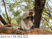 Male Vervet monkey (Chlorocebus aethiops) eating a mango fruit, showing blue scrotum, Samburu Lodge, Kenya. January. Стоковое фото, фотограф Will Watson / Nature Picture Library / Фотобанк Лори
