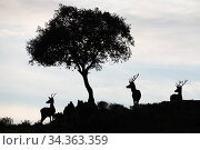 Red deer stags (Cervus elaphus) and a Holm oak tree (Quercus ilex) silhouetted Parque Natural Sierra de Andujar, Andalucia, Spain. January. Стоковое фото, фотограф Staffan Widstrand / Nature Picture Library / Фотобанк Лори