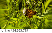 Купить «Бабочка сидит на цветке и улетает прочь. Жаркий летний день. Эффект фантасмагория, фокусировка на центр. Летняя концепция, отдых на природе, полевые цветы. Butterfly sits on flower and flies away, sultry summer day. Phantasmagoria effect, focusing on flower. Summer concept, outdoor recreation, wildflowers», видеоролик № 34363799, снято 4 августа 2020 г. (c) Dmitry Domashenko / Фотобанк Лори
