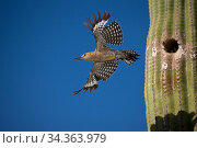 Gila woodpecker (Melanerpes uropygialis), emerging from nest in Saguaro cactus, Arizona, USA. July. Стоковое фото, фотограф John Cancalosi / Nature Picture Library / Фотобанк Лори
