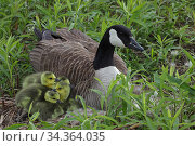Canada Goose (Branta canadensis) on nest with goslings, New York, USA. Стоковое фото, фотограф John Cancalosi / Nature Picture Library / Фотобанк Лори
