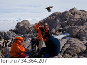 Group of orntithologists monitoring (weighing) Antarctic Skua chick (Stercorarius antarcticus) at Dumont d'Urville Station , Antarctica, January 2013. Стоковое фото, фотограф Fred Olivier / Nature Picture Library / Фотобанк Лори