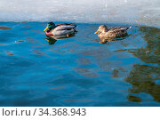 Male and female ducks swimming in cold waters of a pond in winter. Стоковое фото, фотограф Zoonar.com/Pawel Opaska / easy Fotostock / Фотобанк Лори