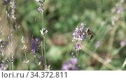 Honeybee is gathering honey or pollen on a beautiful lavender flowers. Стоковое видео, видеограф Ярослав Данильченко / Фотобанк Лори