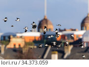 Northern lapwing (Vanellus vanellus) flock in flight with Harrods in the background. London, England, UK, February. Стоковое фото, фотограф Oscar Dewhurst / Nature Picture Library / Фотобанк Лори