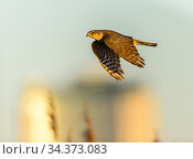 Eurasian sparrowhawk (Accipiter nisus), in flight over marshland. London, England, UK, December. Cropped. Стоковое фото, фотограф Oscar Dewhurst / Nature Picture Library / Фотобанк Лори