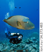 Napoleon Wrasse (Cheilinus undulatus), and scuba diver Palau, Pacific Ocean. Model released. Стоковое фото, фотограф Brandon Cole / Nature Picture Library / Фотобанк Лори