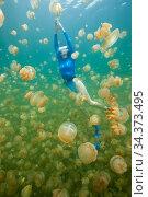 Golden jellyfish (Mastigias papua with diver, )Jellyfish Lake, Palau. Стоковое фото, фотограф Brandon Cole / Nature Picture Library / Фотобанк Лори