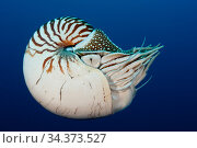 Palau chambered nautilus (Nautilus belauensis), a primitive deepwater cephalopod. Palau, Pacific Ocean. Стоковое фото, фотограф Brandon Cole / Nature Picture Library / Фотобанк Лори
