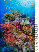 Soft corals (Dendronephthya sp.) and Fire coral (Millepora sp.) with Scalefin anthias (Pseudanthias squammipinnis), Ras Mohammad National Park. Egypt, Red Sea. Стоковое фото, фотограф Brandon Cole / Nature Picture Library / Фотобанк Лори