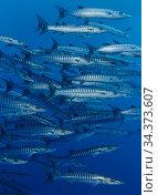 Chevron barracuda (Sphyraena qenie) ,Egypt, Red Sea. Стоковое фото, фотограф Brandon Cole / Nature Picture Library / Фотобанк Лори