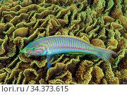 Klunzinger's wrasse (Thalassoma rueppellii) swimming over Cabbage coral (Turbinaria cf. Reniformis). Egypt, Red Sea. Стоковое фото, фотограф Brandon Cole / Nature Picture Library / Фотобанк Лори