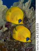 Masked butterflyfish (Chaetodon semilarvatus) Egypt, Red Sea. Стоковое фото, фотограф Brandon Cole / Nature Picture Library / Фотобанк Лори