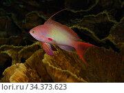 Scalefin Anthias (Pseudanthias squammipinnis) male swimming over Cabbage Coral (Turbinaria cf. reniformis). Egypt, Red Sea. Стоковое фото, фотограф Brandon Cole / Nature Picture Library / Фотобанк Лори
