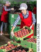 Woman during packaging peaches. Стоковое фото, фотограф Яков Филимонов / Фотобанк Лори