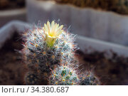 Blooming small home cactus in a flower pot. Yellow flower in a thorny cactus. Стоковое фото, фотограф Екатерина Кузнецова / Фотобанк Лори