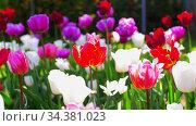 beautiful tulip flowers at garden. Стоковое видео, видеограф Syda Productions / Фотобанк Лори
